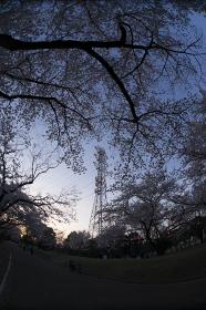 公園の桜と鉄塔