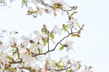 白い空背景の白いコブシの花の枝先
