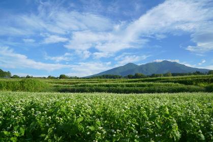 そば畑と青空 ソバの花と青空