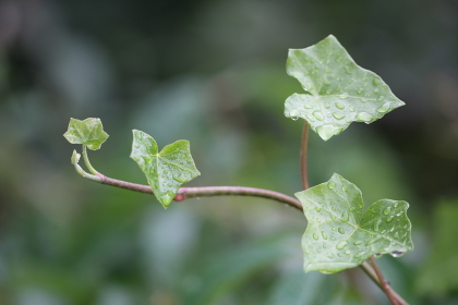 the ivy,medicinal plant of the year 2010