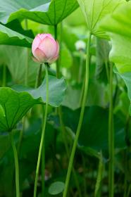 蓮の花のつぼみ 7月
