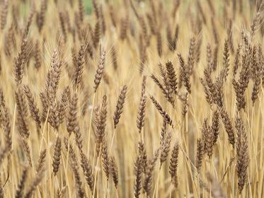 実った小麦畑