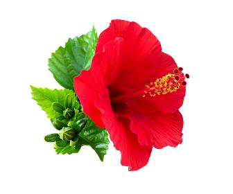 ハイビスカスの花 切り抜き 1