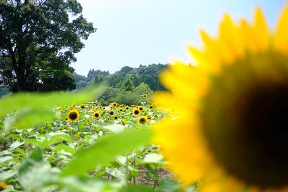 ひまわりの奥に見える美しいひまわり畑の風景