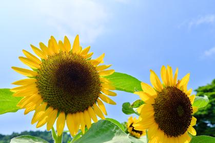 夏の日差しに照らされる元気なひまわり