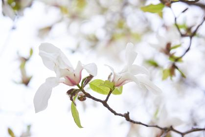 白いコブシの花のアップ