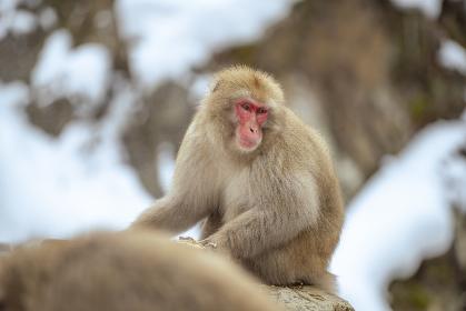 長野県山ノ内町 地獄谷野猿公苑の温泉に入るニホンザル