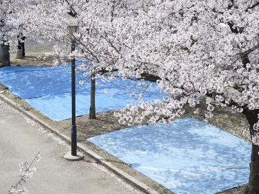 花見の場所取りのブルーシート
