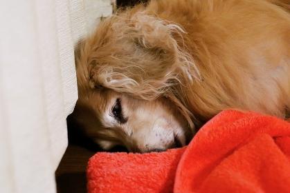 眠る老犬 ミニチュアダックスフント
