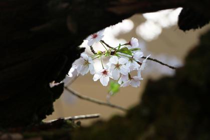 古木の隙間から見える桜 クローズアップ