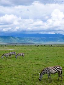 タンザニア・ンゴロンゴロ国立公園で草を食べるシマウマとヌーの群れ縦位置