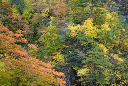 色とりどりに紅葉した山のクローズアップ、宮城県大崎市鳴子峡