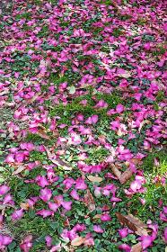 草の生えた地面に落ちた濃いピンクのサザンカの花びら