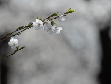 サクラの花のクローズアップ 3月
