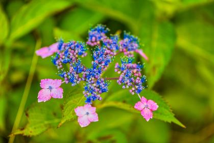 初夏の公園に咲く満開のアジサイ