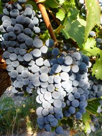 ワイナリーの葡萄畑で実った赤ブドウの房クローズアップ