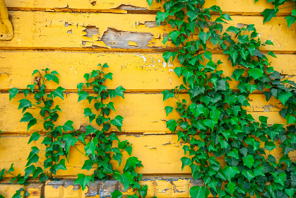 Green ivy against the old yellow peeling wall