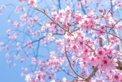 新横浜公園の桜