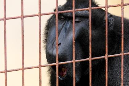 檻の中の黒いサルのあくび