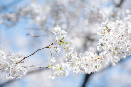 春の音無親水公園の桜 東京都北区王子