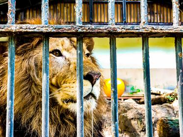 ヨダレを垂らしてるライオン おびひろ動物園