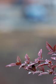 水滴・赤い葉(縦写真)