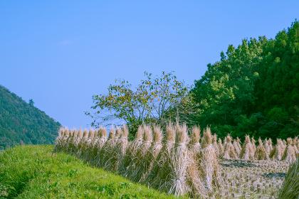 秋の久住高原の稲刈り
