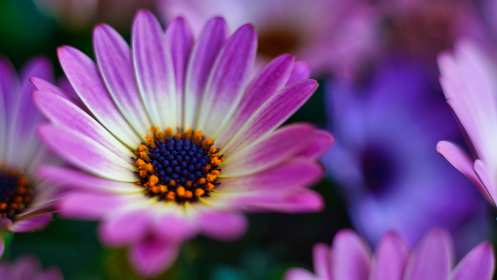 ピンク色の花、オステオスペルマム(アフリカキンセンカ、アフリカンデージー)