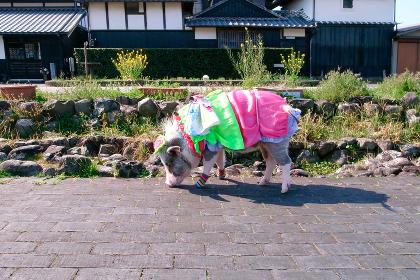 日本・安芸市の城下町の風景とペットの豚