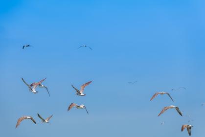 爽やかな青空を自由に飛ぶカモメ