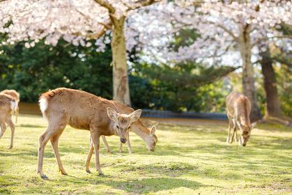桜と鹿の群れ 奈良県奈良市奈良公園