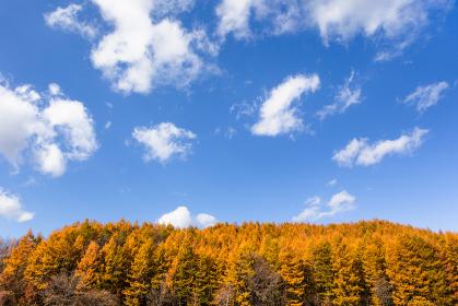日本・北海道東部の標茶町、紅葉の唐松林