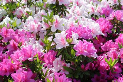 ツツジの花 7 ピンク2色