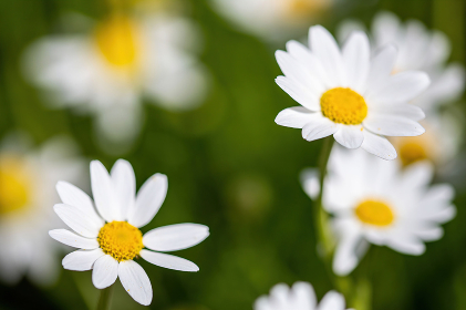 daisies flower for the preparation of the infusion of chamomile