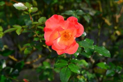 オレンジ色系のバラ