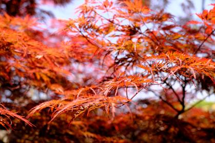 赤く美しいもみじの葉