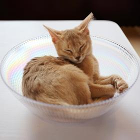 ガラス製のボウルの中で眠る茶色い子猫