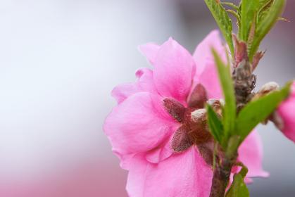 ハナモモ(桃の花)
