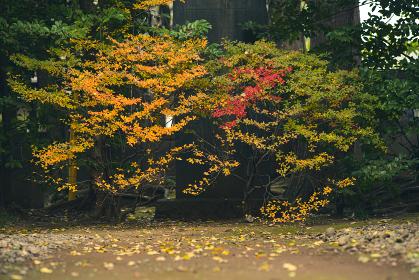 紅葉する庭の木
