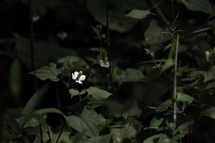 森の中の白いかわいい花 どくだみ