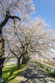 白石川堤一目千本桜の遊歩道