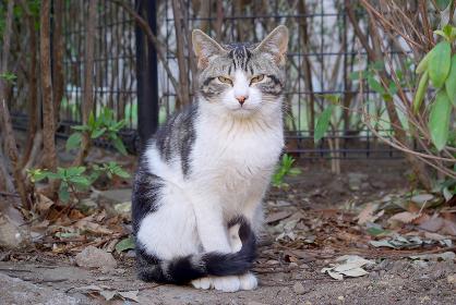 前向き座りカメラ目線のサバトラ白猫