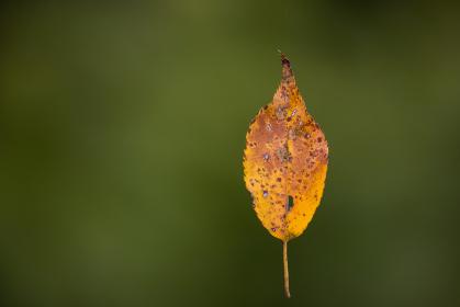 蜘蛛の糸で吊り下がる落葉