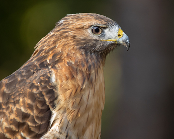 A Red-shouldered Hawk Portrait Looking Right