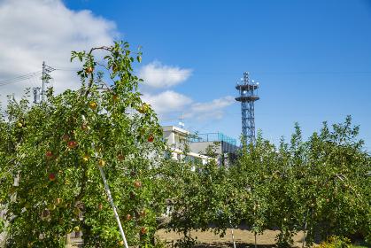 長野県飯田市 りんご並木の風景 果樹園