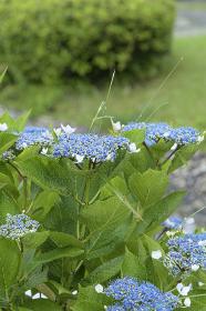 梅雨を代表する花