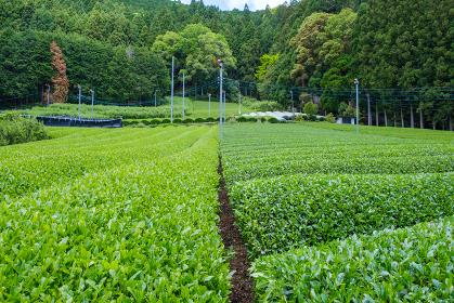 かぶせ茶と露地栽培の色の濃さの比較 左:露地栽培 右:かぶせ茶