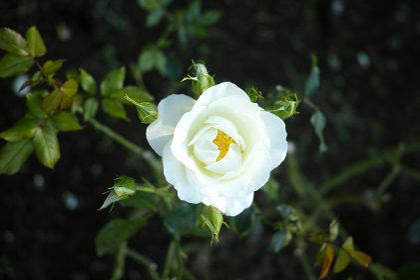 白色の野バラ
