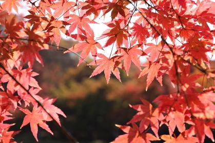 日の当たるモミジの葉