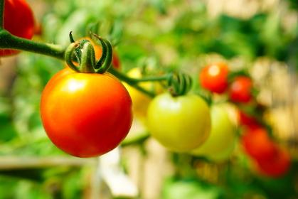 自家製のミニトマト